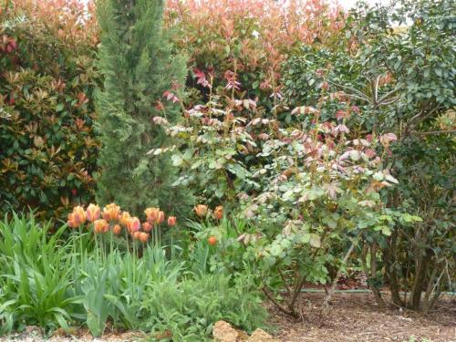 April, tulips and Photinia and new growth on Rosa Westerland all have the same warm colour