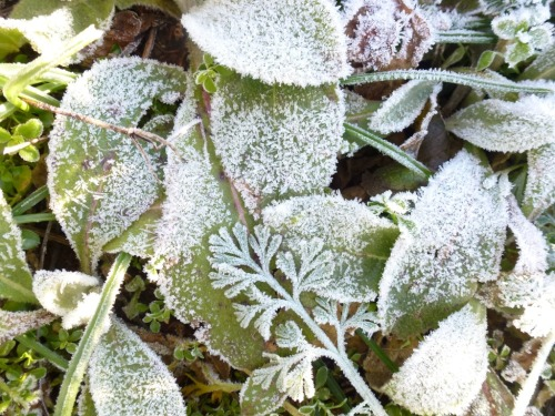 December, frost on alreadysilver foliage