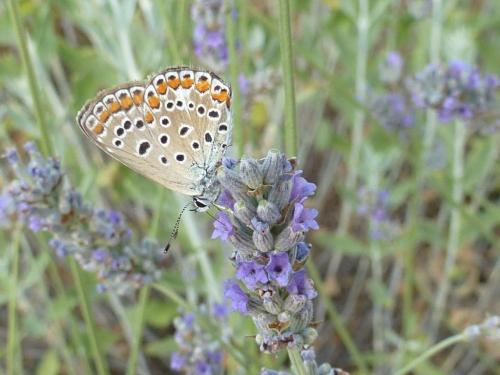 June, ever present butterflies on the lavender
