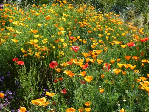 May, a profusion of Californian poppies