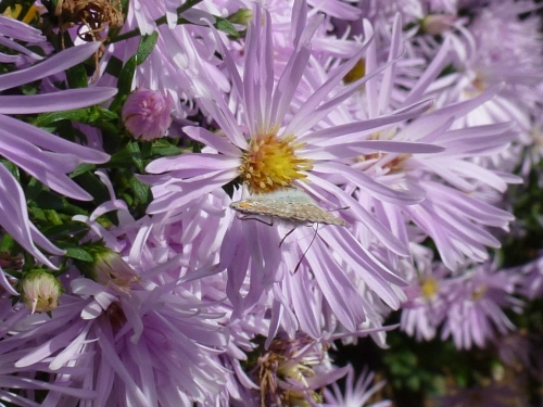 September, Asters are the stars of the show