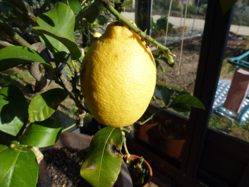 Lovely, juicy lemons