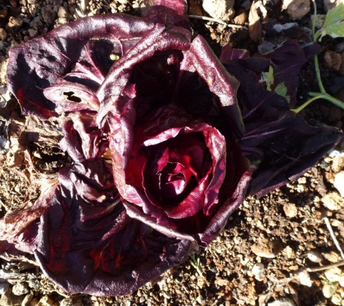 Growing between the Pal Choi is chicory which has turned a lovely red with the cold temperatures