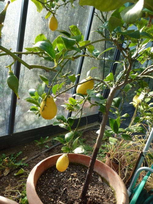 Still a few lemons, I haven't had to buy any for ages