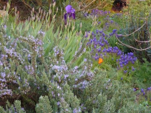 Prostrate Rosemary, Muscari and wild Iris