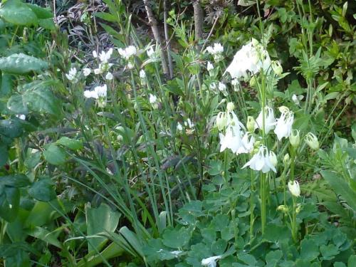 Aquilegea vulgaris alba with Allium Roseum
