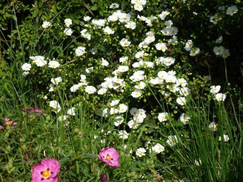 Unknown name white Cistus