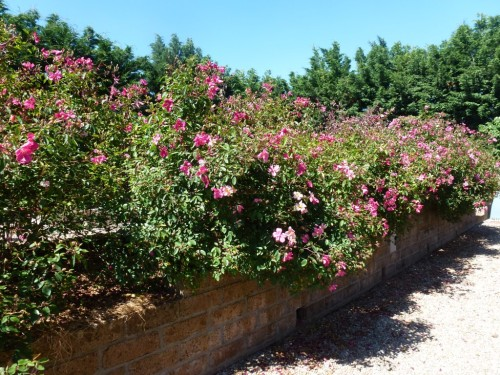 Rosa mutabilis on the wall that divides the vegetable garden from the drive