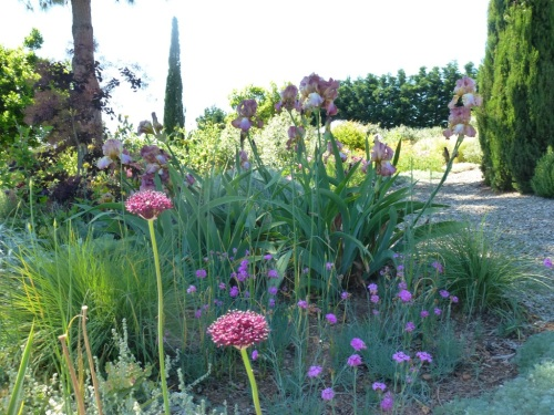 Just opening Allium Christophii with Dianthus and Iris Rustic Jewel Large Island