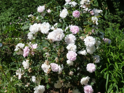 Rosa Stanwell's perpetual, Triangular rose bed