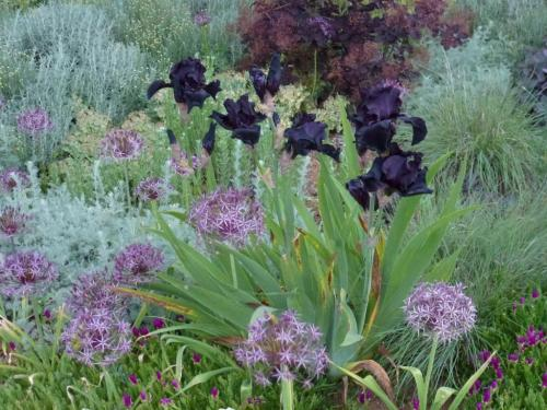 Allium Christophii with Iris 'Before the Storm' and Cotinus