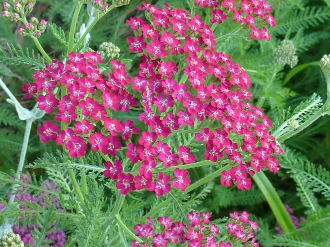 Achillea millefolium 'Cassis'