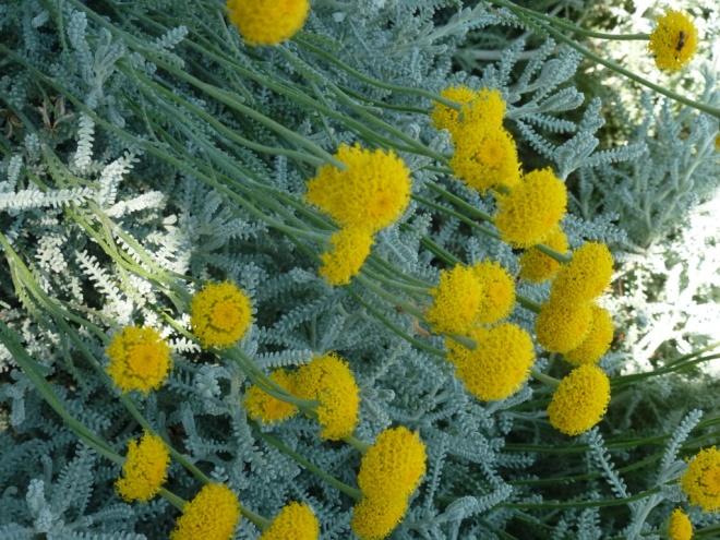 Sulphur yellow santolina