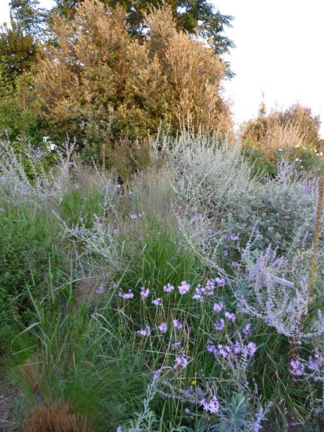 In the evening light on Tuesday, Perovskia, Panicums and Tulbaghia