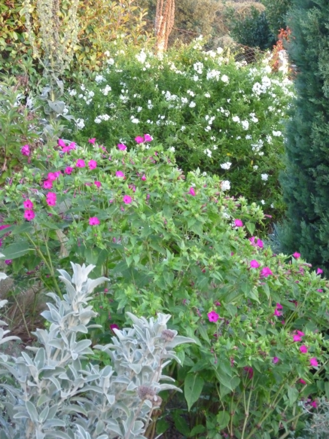 In the evening light on Tuesday, Mirabilis jalapa and Solanum jasminoides