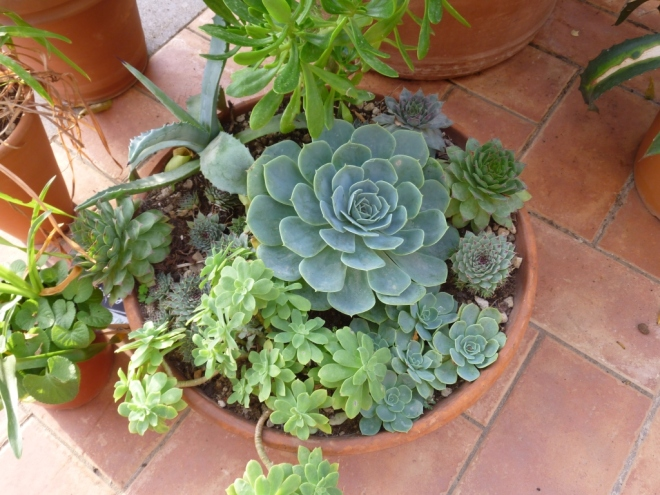 Another succulents pot - all bits and pieces given to me by friends and so need to work on some IDs