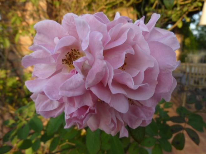Rosa 'Clair Martin'