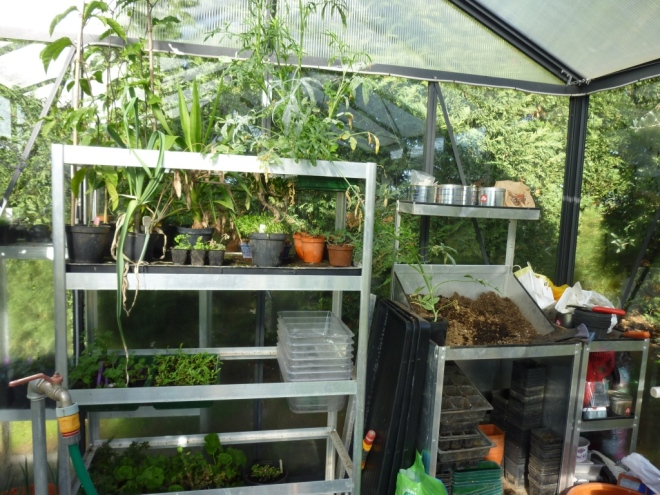 Back of greenhouse with potting bench and one stand with among other things a tray of overgrown Ami major