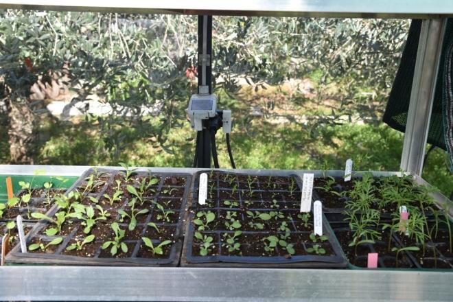 Still very small Rudbeckia seedlings