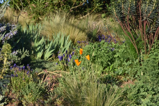 Eschscholzia californica begins to take centre stage