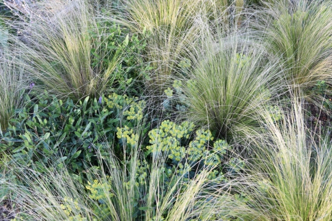Euphorbia and Stipa in the evening light