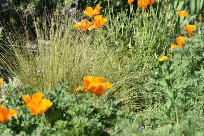 Every day there is more and more orange from the Eschscholzia californica