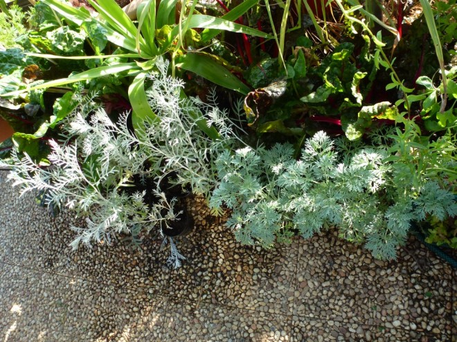 Artemesia 'Powis Castle' and Cinereria cuttings waiting to be planted out.