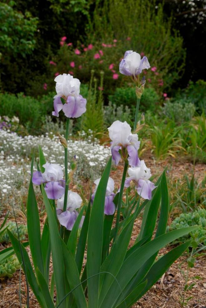 Iris 'no name', delicate pinky mauve and white